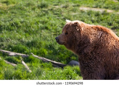 The profile of a large brown bear shitting in the afternoon sunshine with a background of spring grass.