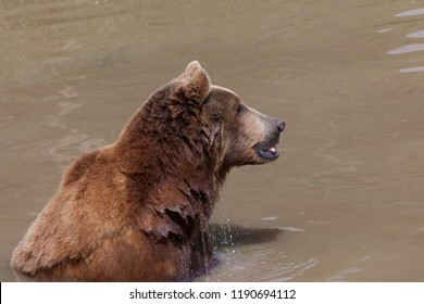 The profile of a large female brown bear in a muddy pond looking into the distance with its tongue sticking out and water dripping from its fur.