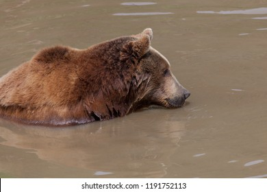 The profile of a large female brown bear in a muddy pond looking into the distance.