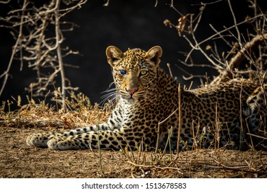 Profile of Leopard with injured blind eye looking to the camera