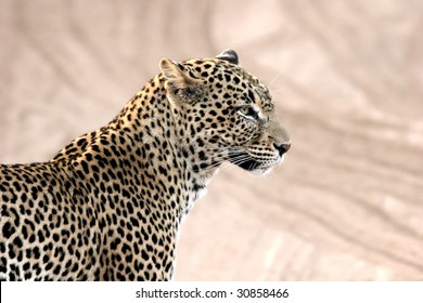 Profile of leopard in morning light in Kenya