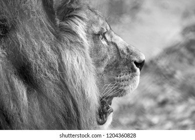 Profile of lion head with mane. Photographed in monochrome at Port Lympne Safari Park near Ashford Kent UK.