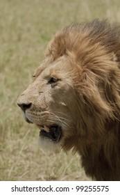 Profile of lion's head