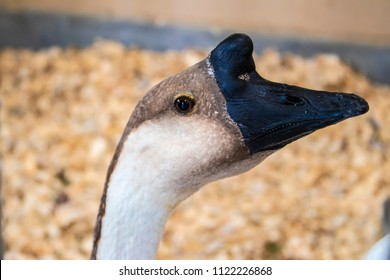 Profile of Male Goose Head with a Black Beak at the California Grown Agriculture & Livestock Showcase at the San Diego County Fair, California, USA