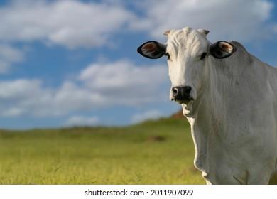 profile of nelore cattle in pasture