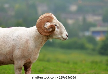 A profile of a nice, spiral horns ram in the field with blurred background.
