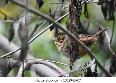 Profile of a non-breeding immature swamp sparrow perched on a branch in the undergrowth while foraging for food on a wet autumn morning.  Photographed in New Hampshire, USA.