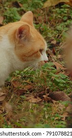 The profile of an orange and white cat walking outside through the grass.