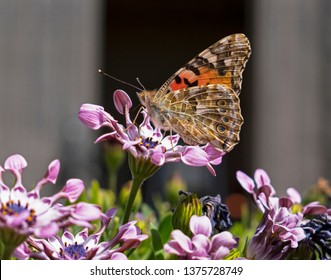 profile of a painted lady butterfly on a lavender african whirlygig daisy with a blurred black and grey background