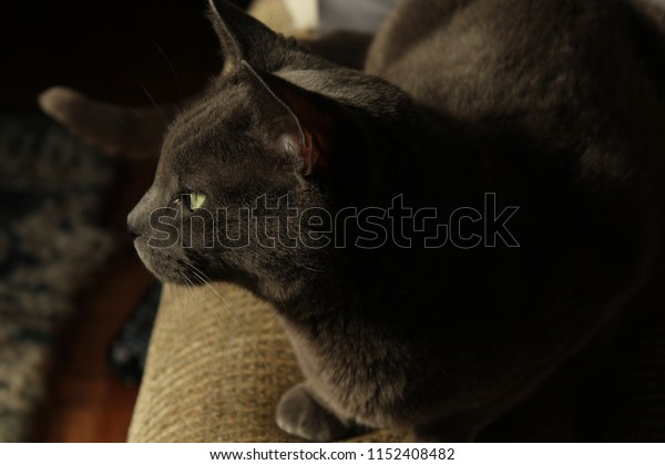 A profile photo of a beautiful female Russian Blue cat with green eyes.