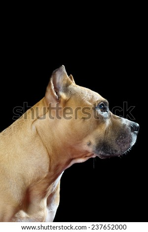 Profile of Pit Bull dog on black background