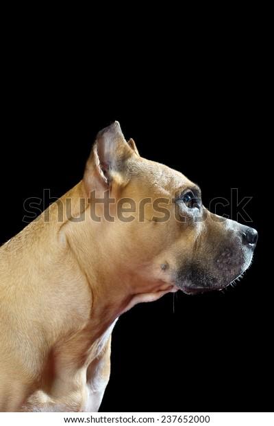 Profile of Pit Bull dog on black background