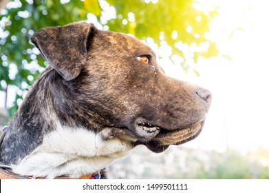 Profile of a Pitbull boxer mix enjoying sunny day in the garden.