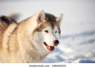 Profile portrait of beautiful, free and happy siberian Husky dog sitting on the snow in winter forest on sunny day