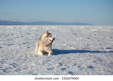 Profile Portrait of beautiful and happy dog breed siberian husky is lying on the snow at sunset and looking to the camera. Husky topdog is on the ice floe of the frozen Okhotsk sea