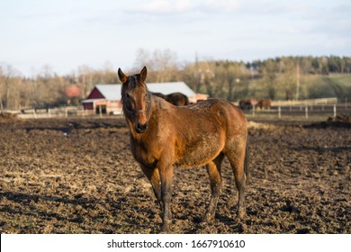 Profile portrait of a brown horse at Tooma on a muddy field. Rural countryside place in Estonia. Sunny bright spring day. Animal is behind wooden fence. Horse is looking towards photographer.