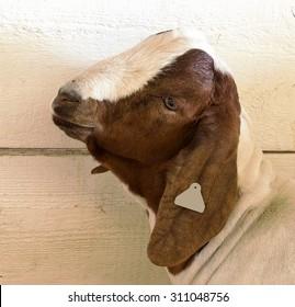 Profile portrait of a domestic goat.