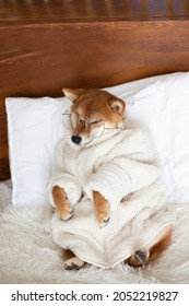 Profile Portrait of funny Red shiba inu Dog wearing glasses and white bathrobe lying in the cozy bed. Cute shiba inu with eyes squinting and smiling