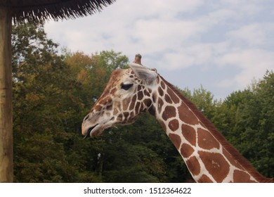 A profile portrait of a giraffe against a background of trees and a blue sky.