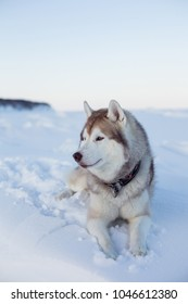 Profile portrait of gorgeous dog breed husky is lying on the snow at sunset and looking into the distance. Portrait of beige and white Siberian husky topdog is on the ice floe of the frozen sea