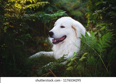 Profile Portrait of gorgeous maremma sheepdog at sunset. Close-up of Big white fluffy dog breed maremmano abruzzese shepherd lying in the fern grass in the forest in fall