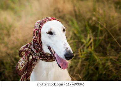 Profile Portrait of gorgeous russian borzoi dog wearing scarf a la russe on her head in the field. Close-up image of funny dog breed russian wolfhound in the meadow in fall