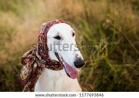 Profile Portrait Of Gorgeous Russian Borzoi Dog Wearing Scarf A La Russe On Her Head In