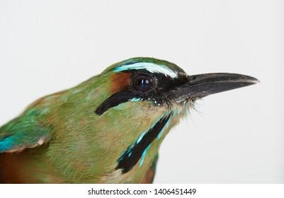 Profile portrait of guardabarranco bird isolated on white studio background