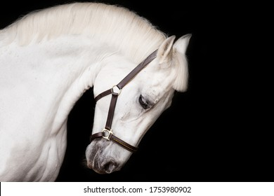 profile portrait of the head of a white horse in a bridle on a black background in studio shooting