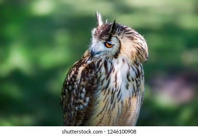 Profile Portrait of Male Eurasian Eagle-Owl