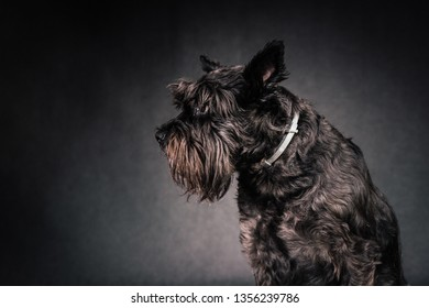 Profile portrait of minature scnauzer dog on black background in studio