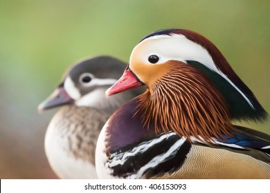 A Profile Portrait Of Pair Male And Female Mandarin Ducks Against Green Background