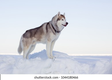 Profile Portrait of perfect dog breed siberian husky standing on the ice floe in winter. Free and prideful Husky topdog is observing the endless frozen sea and snow.