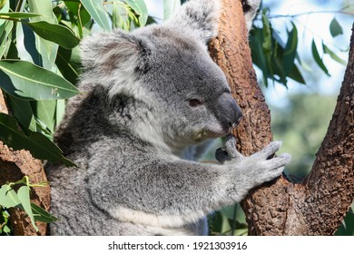 Profile portrait of a pretty koala with outstretched ears and sleepy gesture that holds with one hand to the rough trunk of a tree.