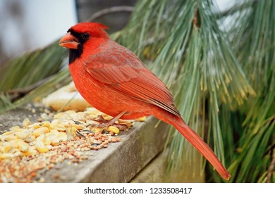 Profile portrait of a red cardinal perched on a porch with a pine branch in the background eating birdseed,