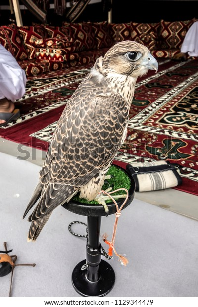 Profile Portrait of a Saker Falcon Close-up. Hunting Falcon-Saker on a stand in an Arabic tent.