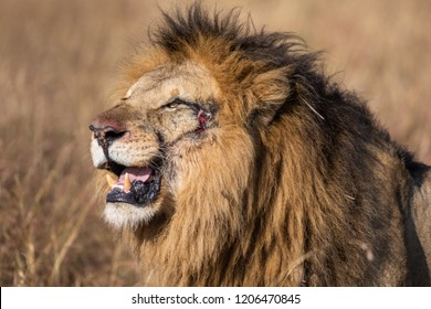 Profile Portrait of Scar II, Elewana or Sand River Male Lion Up Close in Selective Focus with Tall Grass in Background