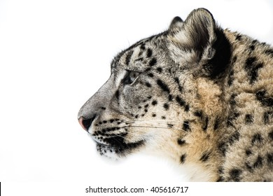 Profile Portrait of Snow Leopard in Snow