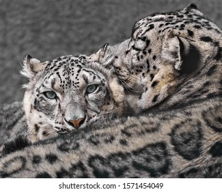 Profile Portrait of a Snow Leopard Pair Cuddling Against a Mottled Gray Background