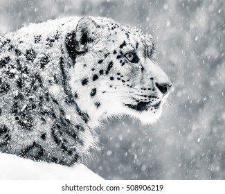 Profile Portrait of a Snow Leopard in a Snow Storm Against a Mottled Gray Background