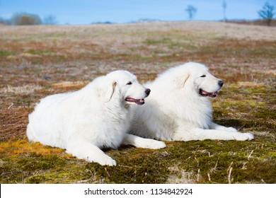 Profile Portrait of two maremma sheepdogs sitting in the summer field. Portrait of two lovely big white dogs breed maremmano-abruzzesse shepherd.