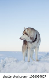 Profile Portrait of young and beautiful dog breed siberian husky standing on the ice floe. Image of Free and prideful Husky topdog is relaxing at the frozen sea and snow.