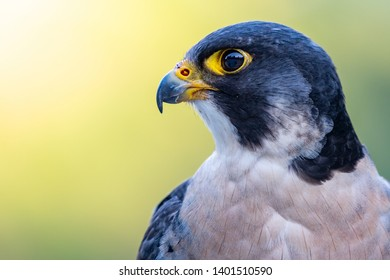 Profile portraiture of a Peregrine falcon on a blurred background