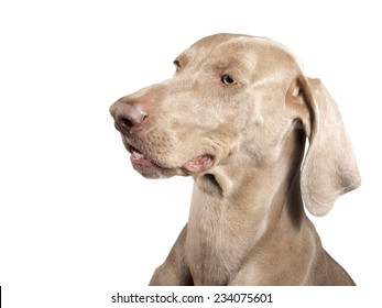 Profile of a purebred hunting female Weimaraner, also known as gray or silver ghost, looking at the camera, isolated over white background