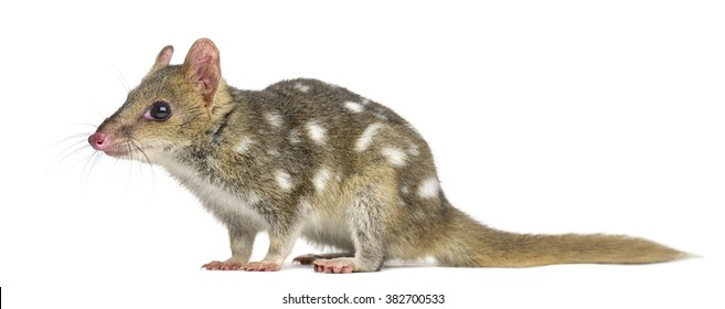 Profile of a Quoll isolated on white (4 years old)