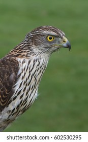 The profile of a raptor, the Sparrowhawk