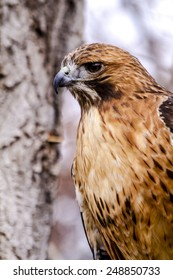 Profile of Red Tail Hawk perched in tree on winter morning