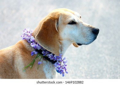 Profile of Red Tick Coonhound wearing wisteria collar.