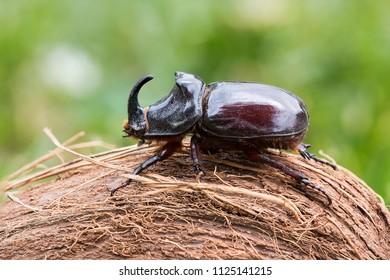 Profile rhinoceros beetle on coconut