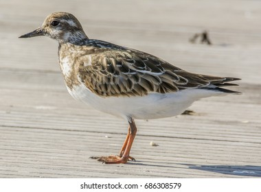 Profile of a Ruddy Turnstone